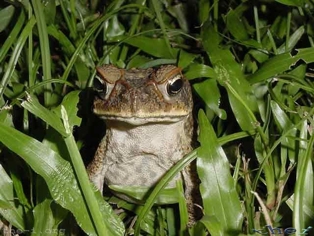 Cane Toad With Attitude