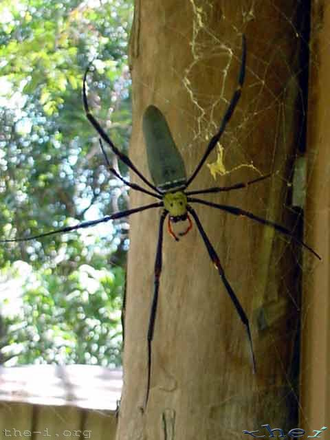 Golden Orb Spider under house eave
