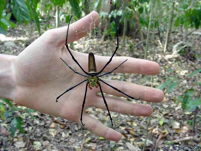 Large golden-orb spider in front of hand